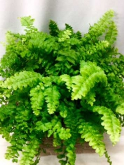 FERN-IN-POT-LGE-1