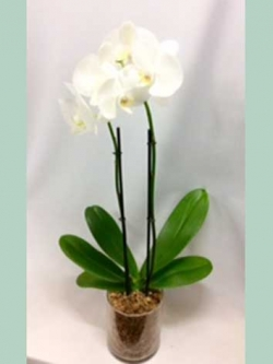 ORCHIDS-IN-GLASS